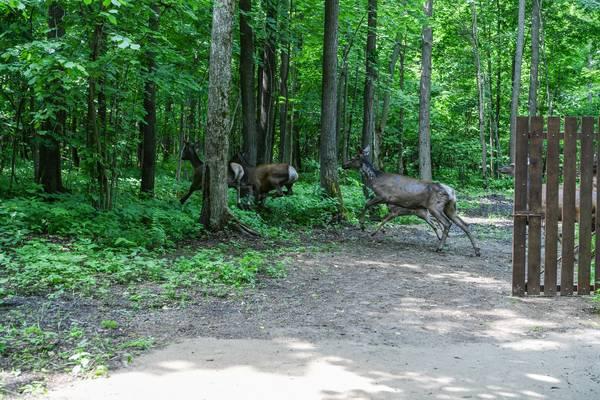 Минниханов выпустил партию первых маралов в леса Татарстана