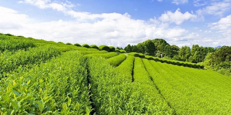 Тимченко: Краснодарский чай может занять 30% рынка HoReCa региона