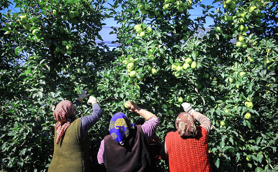 Геннадий Тимченко купит долю в кубанском производителе яблок