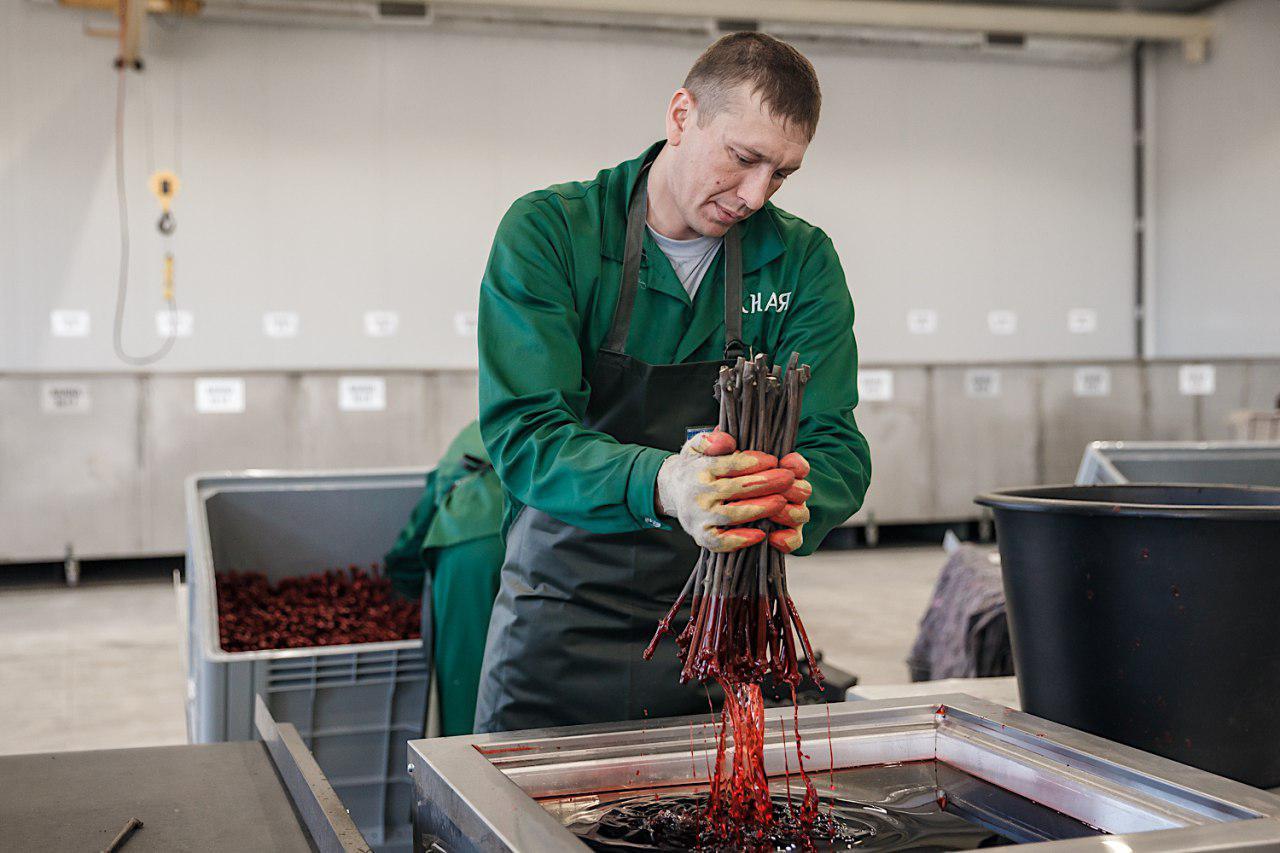 Своя лоза: на Кубани открыли крупнейший в России питомник винограда