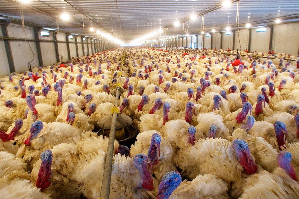 Из-за ситуации с птичьим гриппом «Евродон» потерял около 2,6 млрд руб.