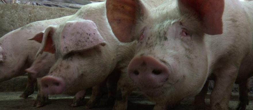 Пермский свинокомплекс оспаривает сделку с Россельхозбанком на ₽120 млн