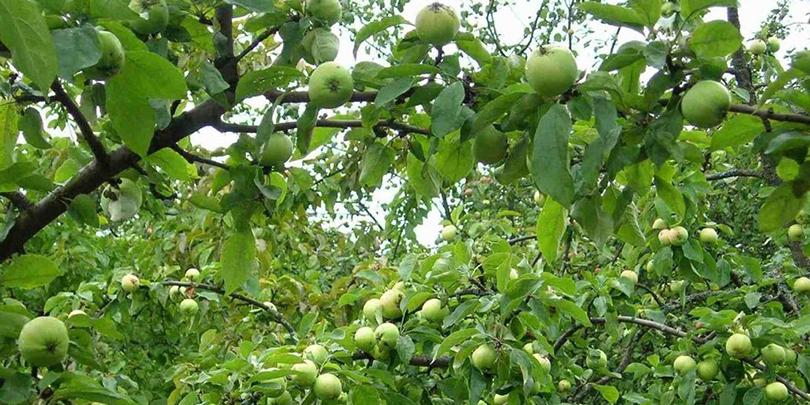 СМИ: «Кузен премьер-министра» занялся выращиванием яблок на Кубани