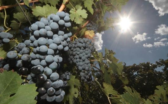 Ростовская область потеряет до 40%  урожая винограда