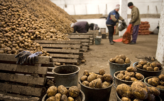 Сортировка картофеля в овощехранилище