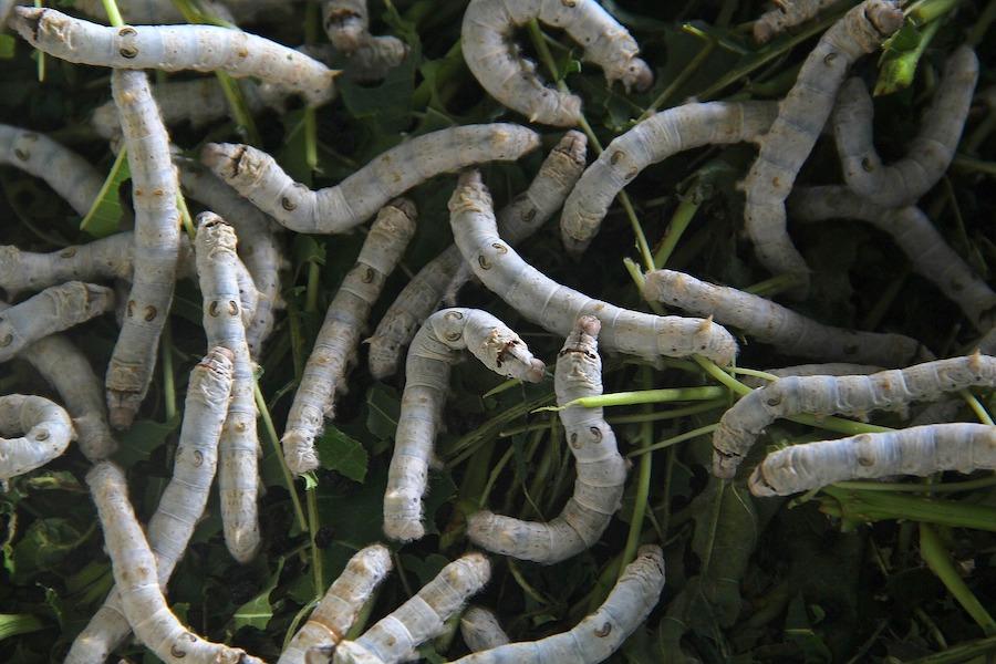 Тутовые шелкопряды на ферме в Индонезии