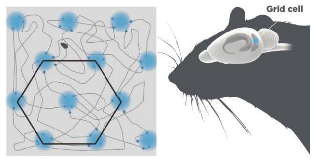 Grid-нейроны (синие), расположенные в экторинальной коре крысы. Каждый нейрон срабатывает, когда животное находится в определенных точках пространства, образующих гексагональную решетку.
