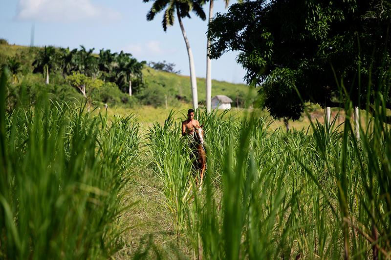 Сахарная промышленность—основной источник доходов Кубы напротяжении всей ее истории. До революции 1959 года главным рынком сбыта кубинского тростникового сахара былиСША, его экспорт обеспечивал дотрети американского рынка. После прихода квласти Кастро основным потребителем сахара сКубы стал Советский Союз, развал которого принес огромные неприятности экономике Острова Свободы: еслив1970-х годах Куба ежегодно производила около8 млн т сахара, токконцу 2000-х—всего около1,3млн. Тем неменее, поданным за2014год, продажа сахара принесла стране $392млн. Главным потребителем традиционного кубинского продукта последние годы остается Китай.  На фото: фермер насахарной плантации вокрестностях Гаваны