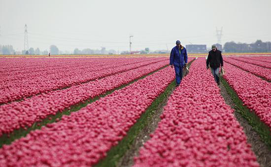 Плантация тюльпанов в пригороде Амстердама