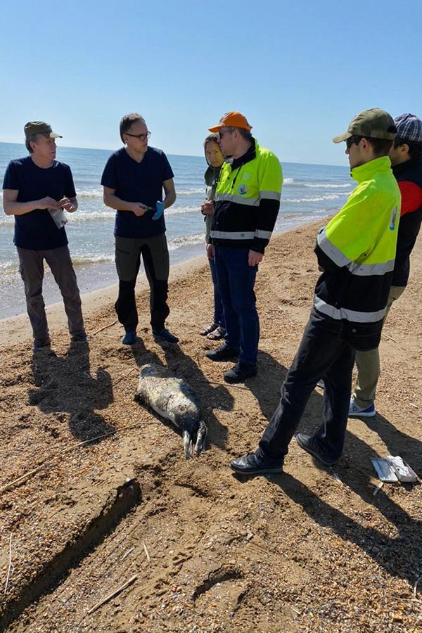 Ученые нашли на берегу Каспийского моря более 150 мертвых тюленей