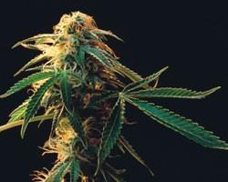 Приступы паники и марихуана марихуана и кипр
