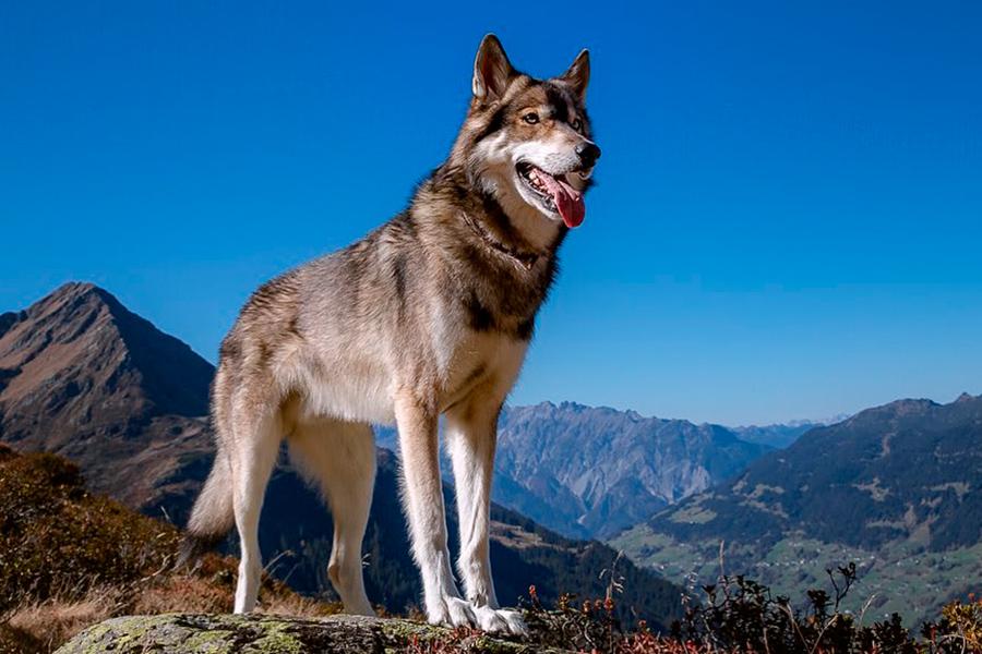 Волко-собачьи гибриды