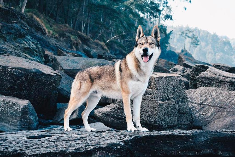 Волкособ, гибрид волка