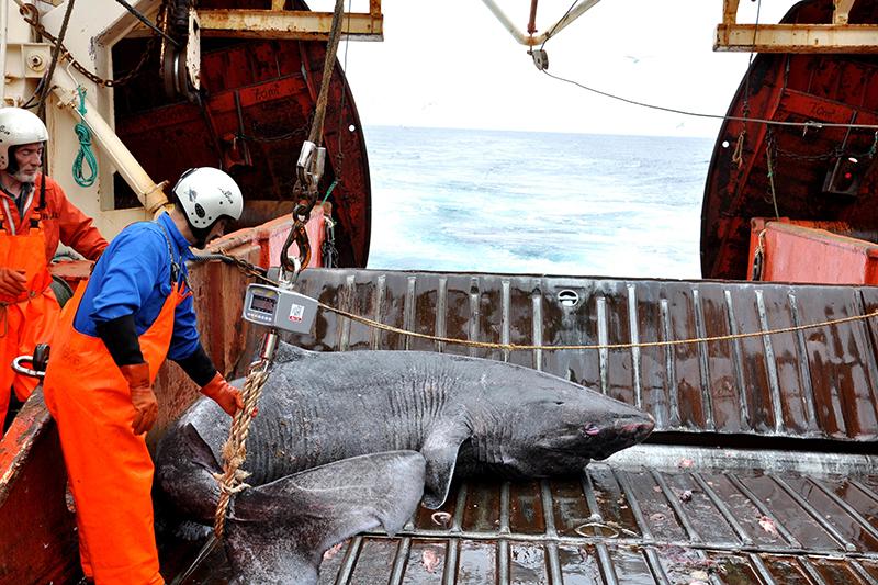 Гренландская полярная акула наборту исследовательского судна