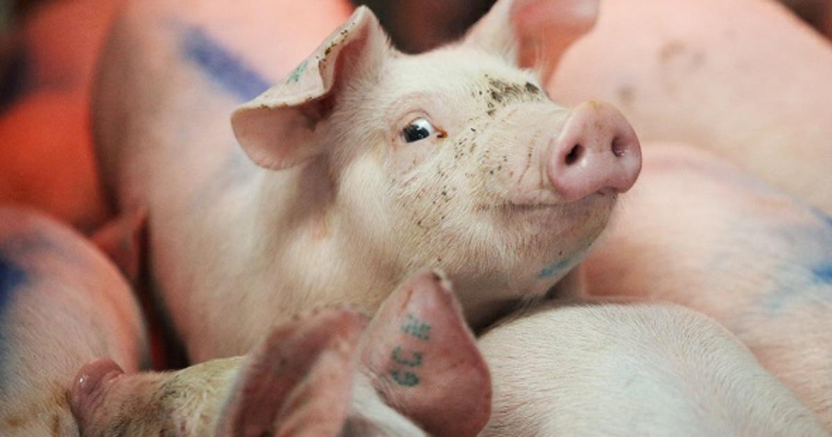 На свинокомплексе датской Axzon на в Краснодарском крае введено наблюдение