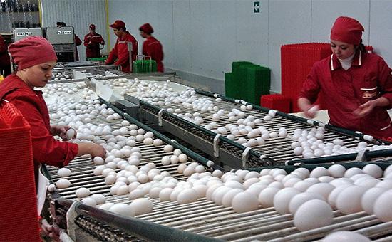 Сортировка яиц на птицефабрике «Синявская»