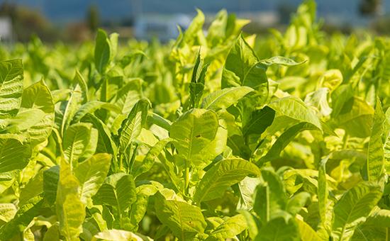 Сбор листьев табака