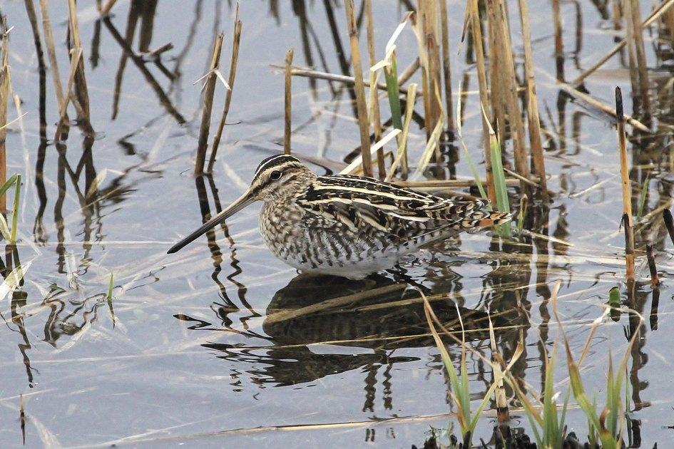 Бекасу необходимы болота, поэтому «Норфолк-бродз»— естественная среда обитания таких птиц
