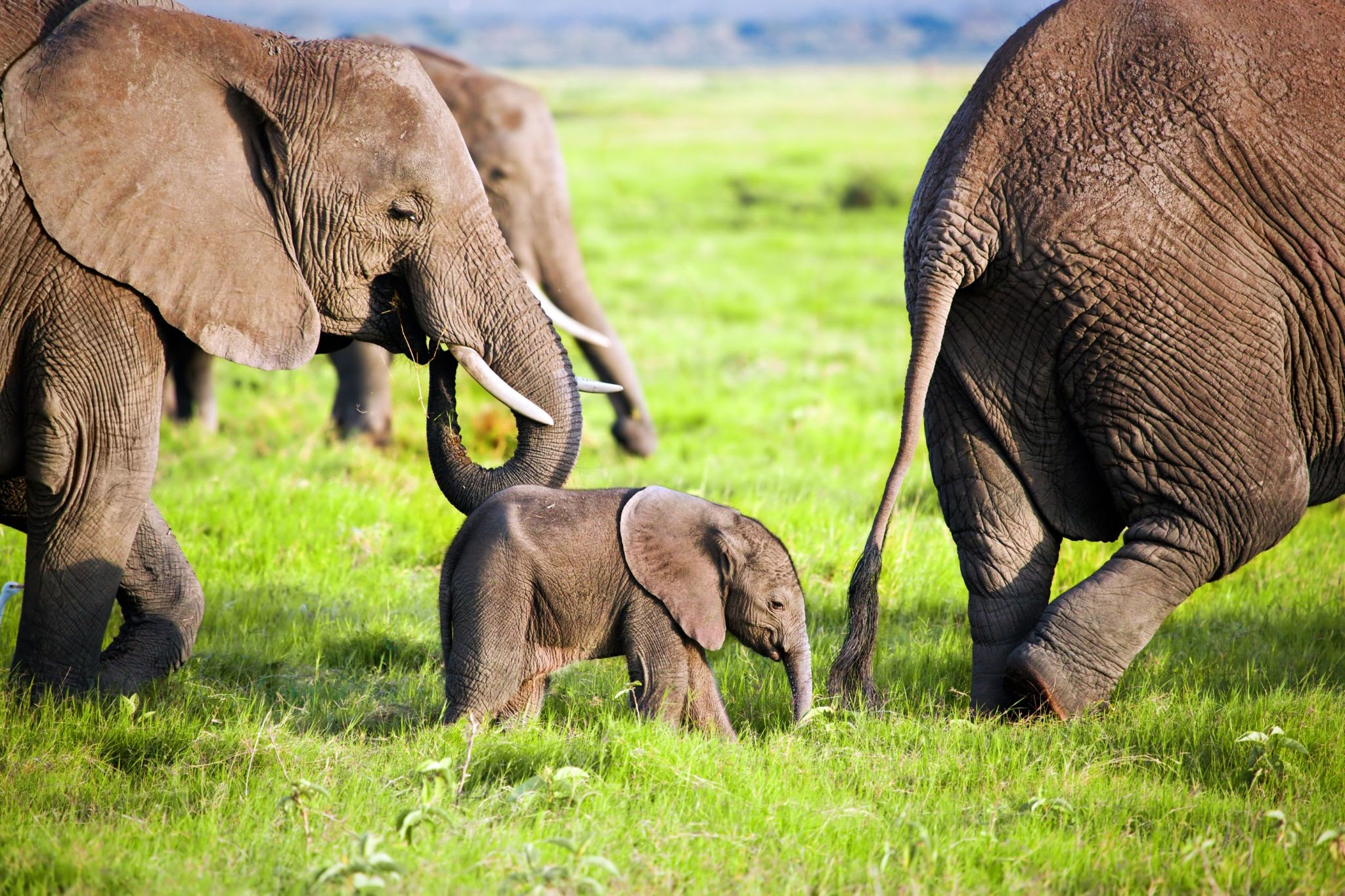 Слоны заботятся о слонятах всем племенем. Например, во время опасной ситуации взрослые особи окружают молодняк, чтобы ему не причинили вред