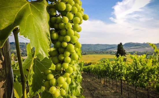 В какое время и как сажать виноград 51
