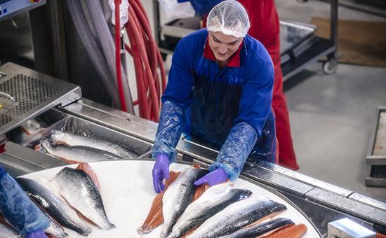 Производство филе лосося на одном из предприятий Норвегии