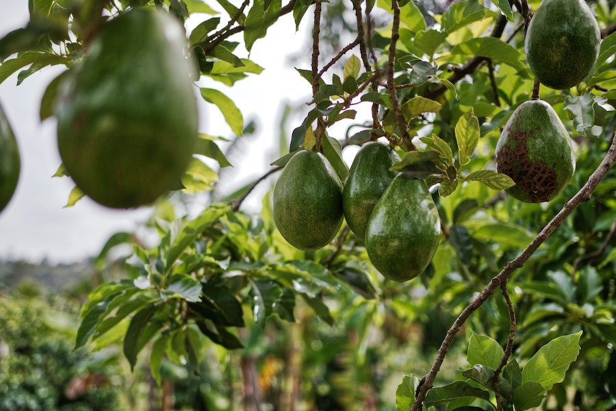 Плоды авокадо, висящие на дереве