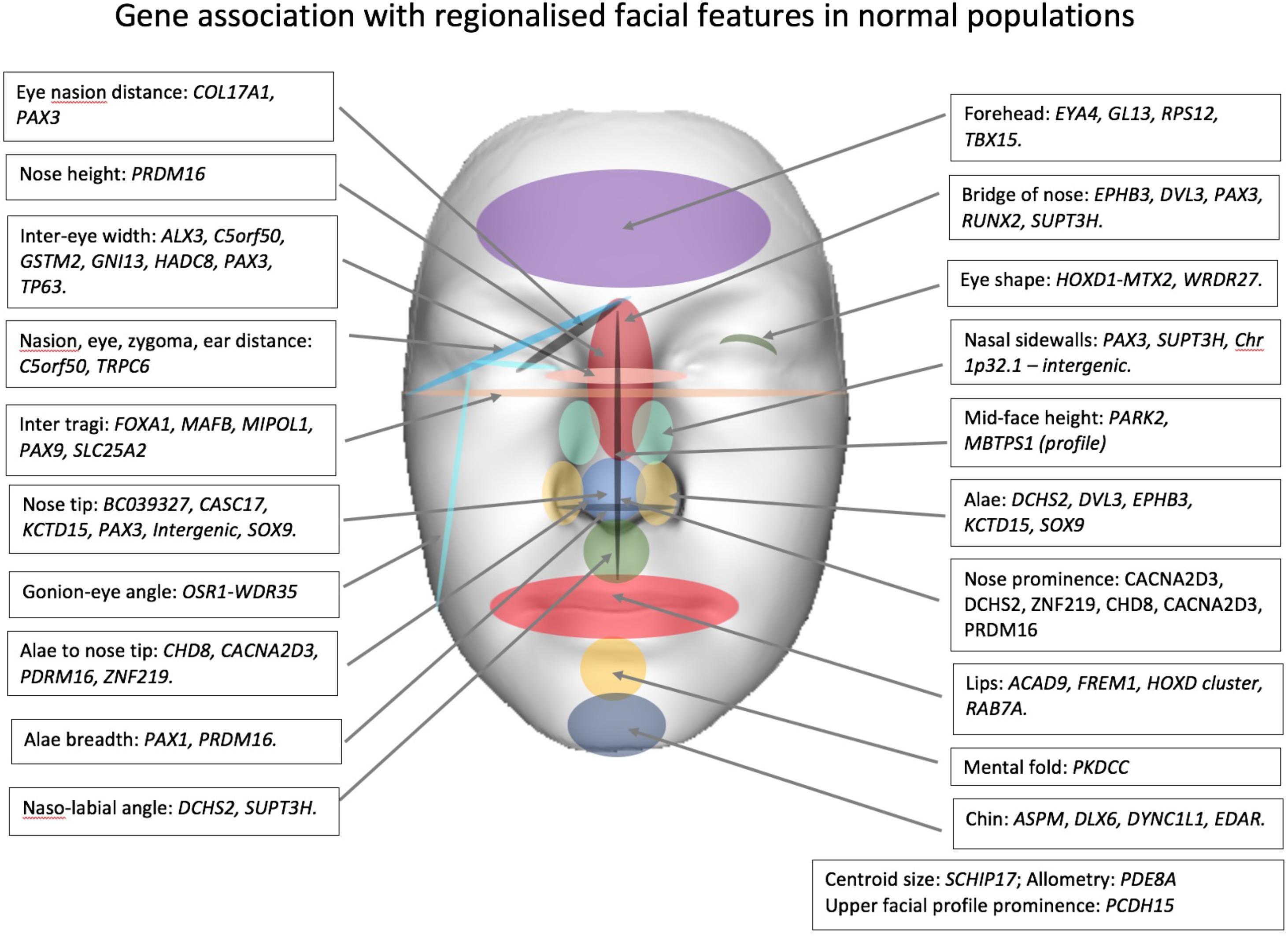 Какие гены отвечают за каждый фрагмент вашего лица