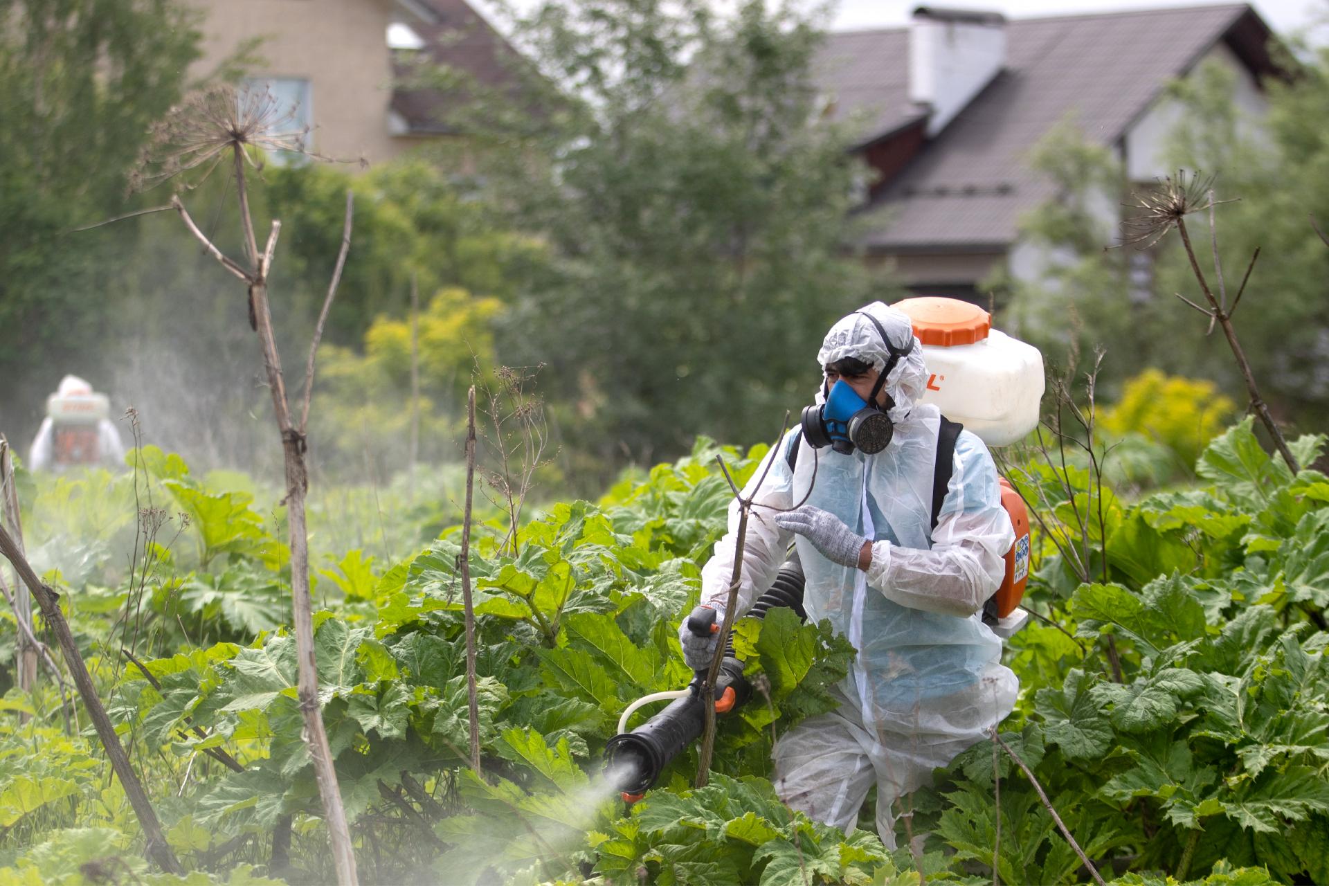 Рабочие во время уничтожения борщевика в Подмосковье