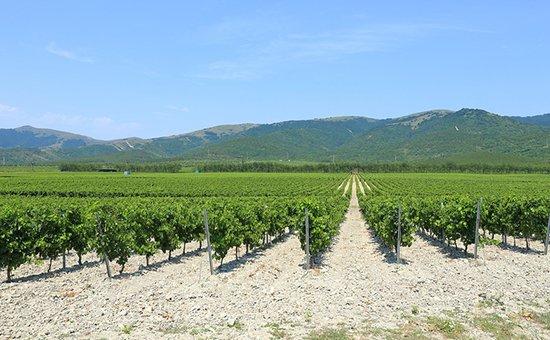 Виноградники в окрестностяхГеленджика
