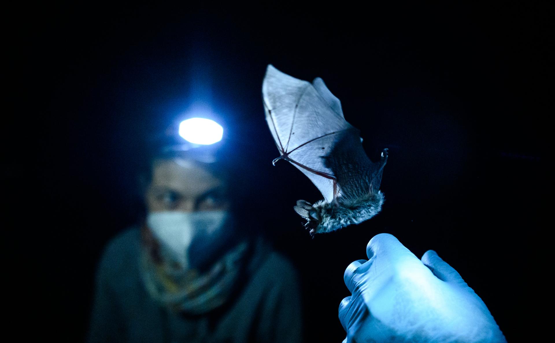 У летучих мышей в России нашли коронавирусы