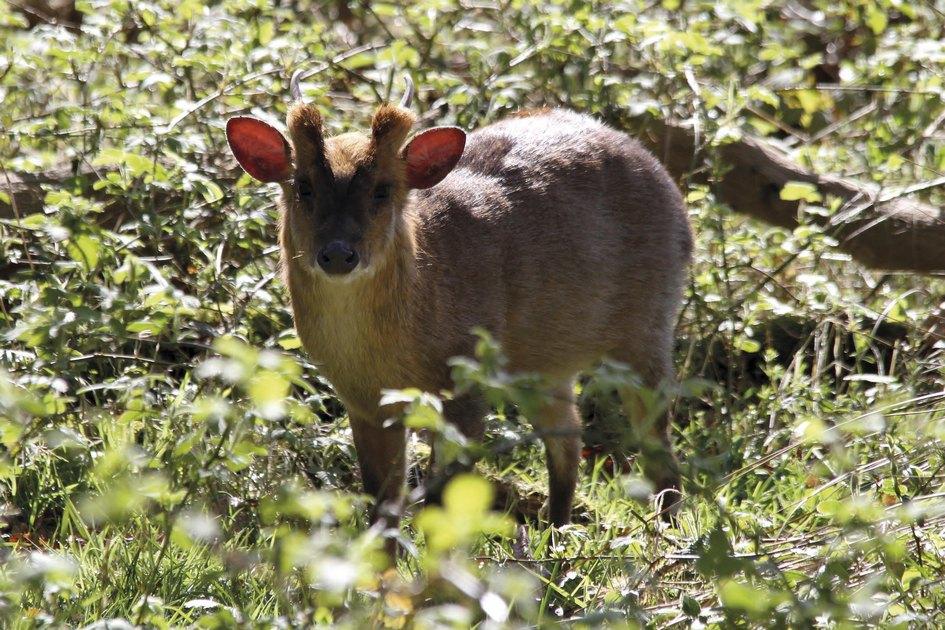 Мунтжаки живут вгустых зарослях лесов Юго-Восточной Азии. Hickling Broad Estate—нетипичное место дляэтих оленей