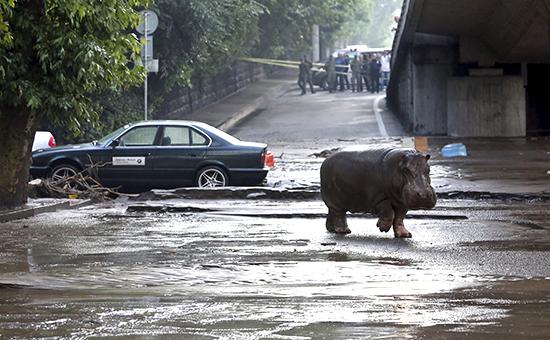 Бегемот на одной из затопленных улиц Тбилиси