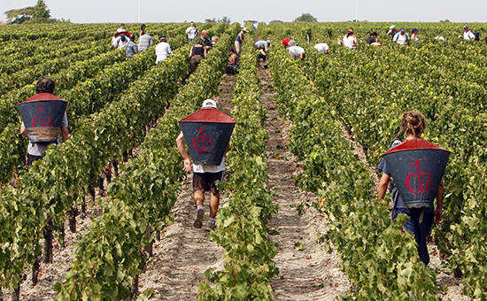 Сбор урожая винограданедалеко от Бордо, Франция