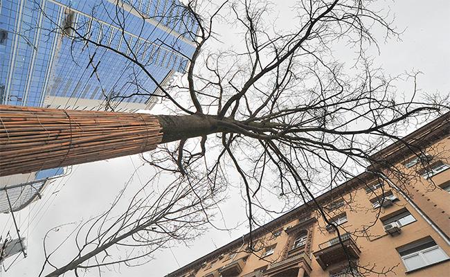 Стволы высаженных деревьев защищает мешковина, скрепленная шпагатом