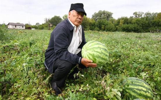 Арбузы на ферме у Сим Ой-ра внешне ничем не отличаются от привозных