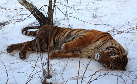 Тигр был обездвижен при помощи спецсредств опергруппой МЧС