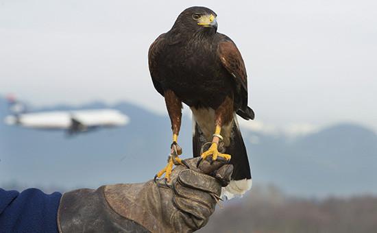 Ястребы охраняют турбины пассажирских самолетов отпопадания вних пролетающих птиц