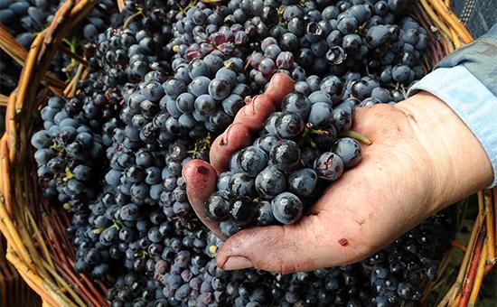 Сбор урожая начастной винодельне вРостовской области