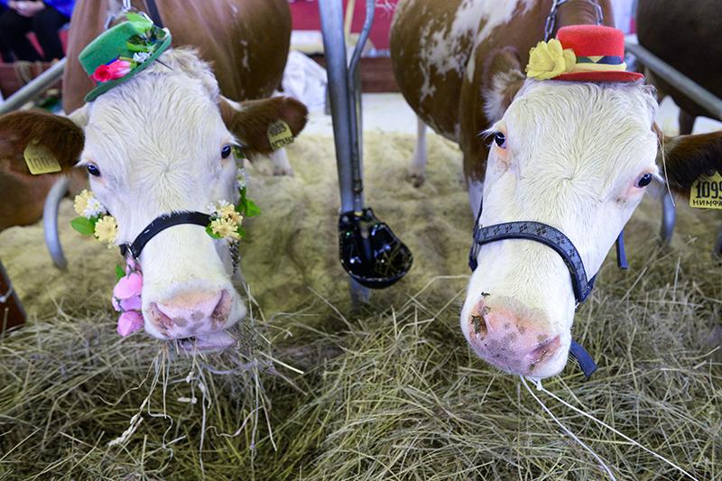Племенные коровы на российской агропромышленной выставке «Золотая осень» на ВВЦ