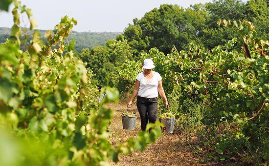 Сбор винограда для производства шампанских и игристых вин в России