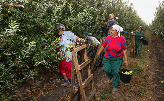 Сбор яблок натерритории сельскохозяйственного предприятия