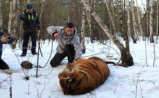 Сотрудники спецслужб, ветеринар воронежского зоопарка обеспечивают транспортировку усыпленного хищника