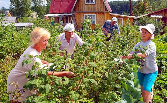 Садоводы вовремя сбора ягод малины