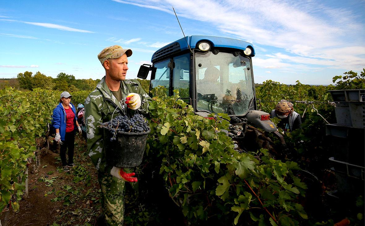 Сбор винограда в Краснодарском крае