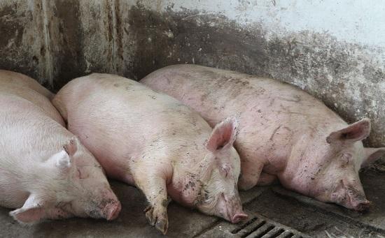 Россельхознадзор заявил о том, что чума свиней может дойти до Башкирии