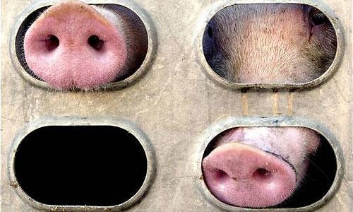 Новые виды биотоплива будут делать из животных жиров
