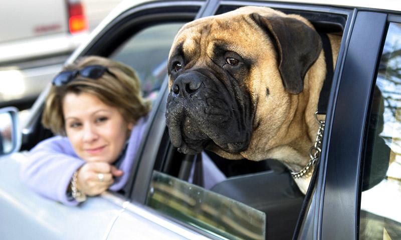 Животные в машине становятся причиной гибели дачников