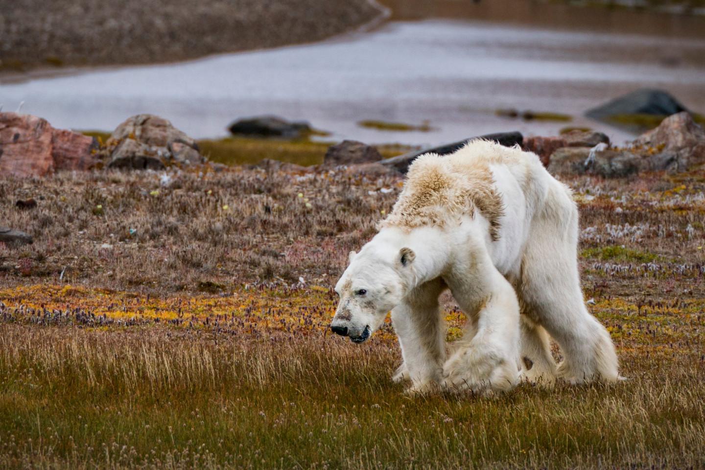 Истощенный полярный медведь, остров Сомерсет