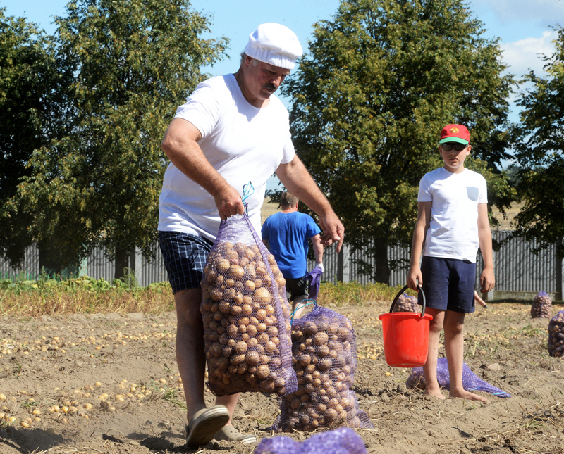 Президент Белоруссии Александр Лукашенко с сыном Николаем во время сбора урожая картофеля и бахчевых на территории официальной резиденции «Дрозды»