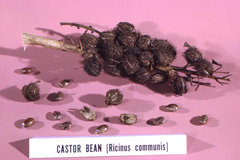 Касторовое масло начали использовать еще древние египтяне, на фото – касторовые бобы